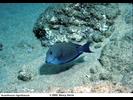 Brown Surgeonfish - Surgeonfish<br>(<i>Acanthurus nigrofuscus</i>)