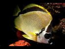 Barberfish - Butterflyfish - Pez Mariposa<br>(<i>Johnrandallia nigrirostris</i>)