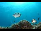 Threebanded Butterflyfish - Butterflyfish - Pez Mariposa<br>(<i>Chaetodon humeralis</i>)