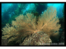 California Golden Gorgonian - Cnidarians<br>(<i>Muricea californica</i>)