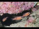 Pink Cardinalfish - Cardinalfish - Cardenal<br>(<i>Apogon pacificus</i>)