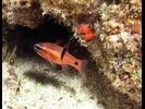 Barspot Cardinalfish - Cardinalfish - Cardenal<br>(<i>Apogon retrosella</i>)