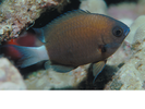 Chocolate Dip Damselfish - Damselfish<br>(<i>Chromis hanui</i>)