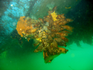 Club Tunicate (exotic) - Urochordates<br>(<i>Styela clava</i>)