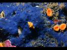 Cobalt Sponge - Poriferans<br>(<i>Hymenamphiastra cyanocrypta</i>)