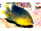 Cocoa Damselfish - Damselfish<br>(<i>Stegastes xanthurus</i>)