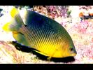 Cocoa Damselfish - Damselfish<br>(<i>Stegastes xanthurus</i>)