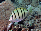Convict Tang - Surgeonfish<br>(<i>Acanthurus triostegus</i>)