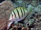 Convict Surgeonfish - Surgeonfish<br>(<i>Acanthurus triostegus</i>)
