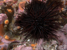 Crowned Urchin - Echinoderms<br>(<i>Centrostphanus coronatus</i>)