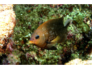 Cortez Damselfish adult - Damselfish - Jaqueta<br>(<i>Stegastes rectifraenum</i>)