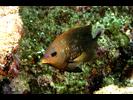 Cortez Damselfish adult - Damselfish - Jaqueta<br>(<i>Stegastes rectifraenum</i>)