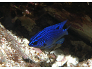 Cortez Damselfish juvenile - Damselfish - Jaqueta<br>(<i>Stegastes rectifraenum</i>)
