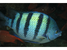 Panamic Sergeant Major - Damselfish - Jaqueta<br>(<i>Abudefduf troschelii</i>)