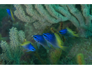 Blue-And-Yellow Chromis - Damselfish - Jaqueta<br>(<i>Chromis limbaughi</i>)