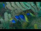 Blue-And-Yellow Chromis - Damselfish - Jaqueta<br>(<i>Chromis limbaughi</i>)