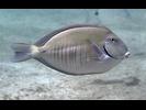 Doctorfish - Surgeonfish<br>(<i>Acanthurus chirurgus</i>)