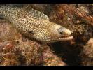 Jewel Moray - Moray<br>(<i>Muraena lentiginosa</i>)