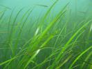 Eelgrass - Algae<br>(<i>Zostera marina / japonica</i>)