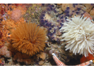 Feather Duster Worm (E. polymorpha) - Annelids<br>(<i>Eudistylia polymorpha</i>)
