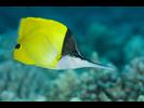 Forcepsfish - Butterflyfish<br>(<i>Forcipiger flavissimus</i>)