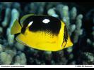 Fourspot Butterflyfish - Butterflyfish<br>(<i>Chaetodon quadrimaculatus</i>)
