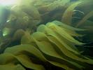 Giant Kelp - Algae<br>(<i>Macrocystis integrifolia / pyrifera</i>)