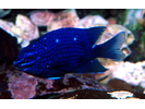 Giant Damselfish juvenile - Damselfish - Jaqueta<br>(<i>Microspathodon dorsalis</i>)