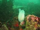 Glassy Sea Squirt - Urochordates<br>(<i>Ascidia paratropa</i>)