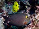 Greensnout Parrotfish - Parrotfish<br>(<i>Scarus spinus</i>)
