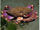Graceful Crab - Arthropods<br>(<i>Metacarcinus gracilis</i>)