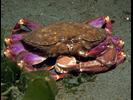 Graceful Crab - Arthropods<br>(<i>Cancer gracilis</i>)