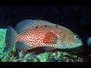Graysby - Seabass<br>(<i>Cephalopholis cruentata</i>)