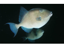 Gray Triggerfish - Triggerfish<br>(<i>Balistes capriscus</i>)