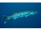 Great Barracuda - Barracuda<br>(<i>Sphyraena barracuda</i>)