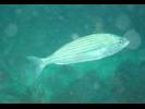 Wavyline Grunt - Grunt - Burro<br>(<i>Microlepidotus inornatus</i>)