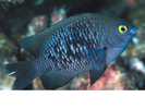 Hawaiian (Pacific) Gregory - Damselfish<br>(<i>Stegastes marginatus</i>)
