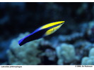 Hawaiian Cleaner Wrasse - Wrasse <br>(<i>Labroides phthirophagus</i>)
