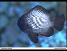 Hawaiian Dascyllus - Damselfish<br>(<i>Dascyllus albisella</i>)