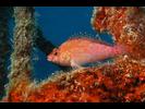 Coral Hawkfish - Hawkfish - Halcón<br>(<i>Cirrhitichthys oxycephalus</i>)