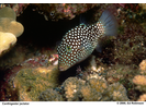 Hawaiian Whitespotted Toby - Pufferfish<br>(<i>Canthigaster jactator</i>)