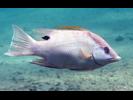 Hogfish - Wrasse<br>(<i>Lachnolaimus maximus</i>)