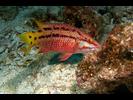Mexican Hogfish - Wrasse - Señorita<br>(<i>Bodianus diplotaenia</i>)