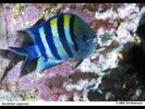 Indo-Pacific Sergeant - Damselfish<br>(<i>Abudefduf vaigiensis</i>)