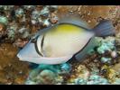 Lei Triggerfish - Triggerfish<br>(<i>Sufflamen bursa</i>)