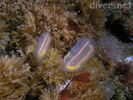 Light-bulb Tunicate - Urochordates<br>(<i>Clavelina huntsmani</i>)
