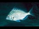 Longspine Porgy - Porgy<br>(<i>Stenotomus caprinus</i>)