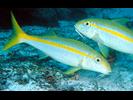 Mexican Goatfish - Goatfish<br>(<i>Mulloidichthys dentatus</i>)
