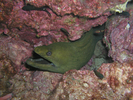 California Moray Eel - Moray<br>(<i>Gymnothorax mordax</i>)