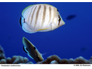 Multiband Butterflyfish - Butterflyfish<br>(<i>Chaetodon multicinctus</i>)
